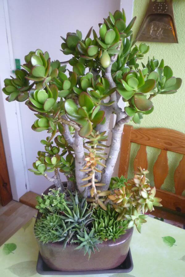 Suculentas no vaso com planta jade
