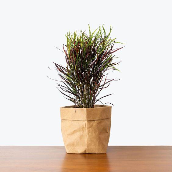 Vaso de croton picasso