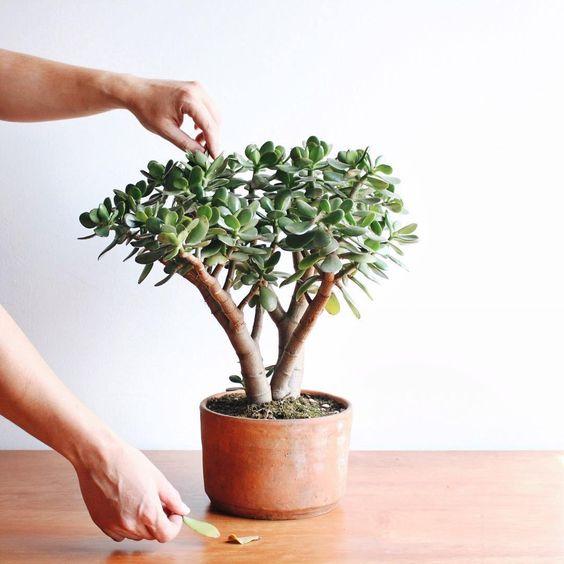 Vaso de planta jade suculenta fácil de cuidar