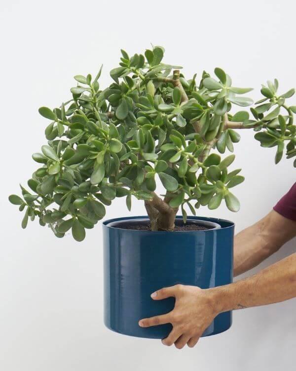 Vaso grande planta jade