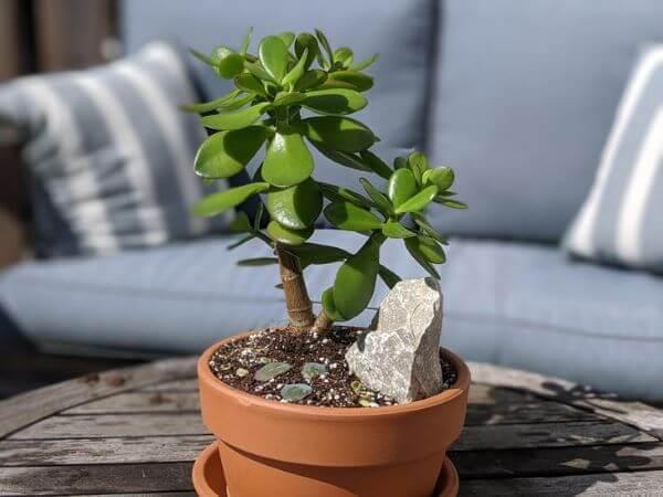 Vaso de planta jade na varanda com luz direta