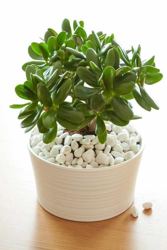 Vaso de planta jade