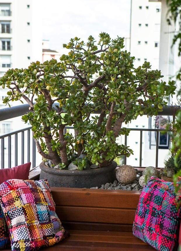 Vaso de planta jade na varanda de casa