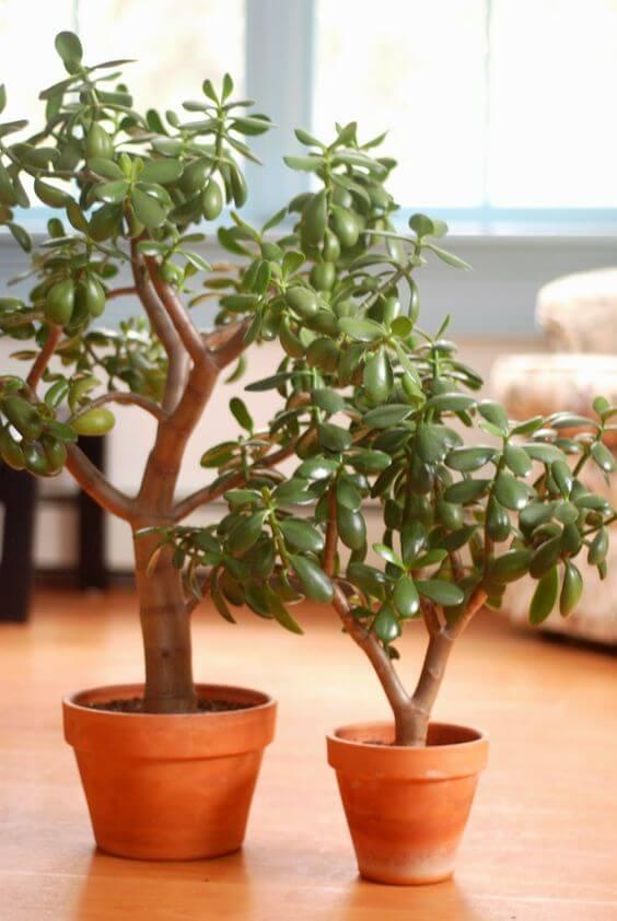 Vasos de planta jade