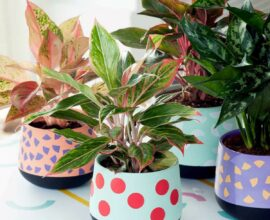 A Aglaonema é perfeita para presentear ou cultivar dentro de casa.