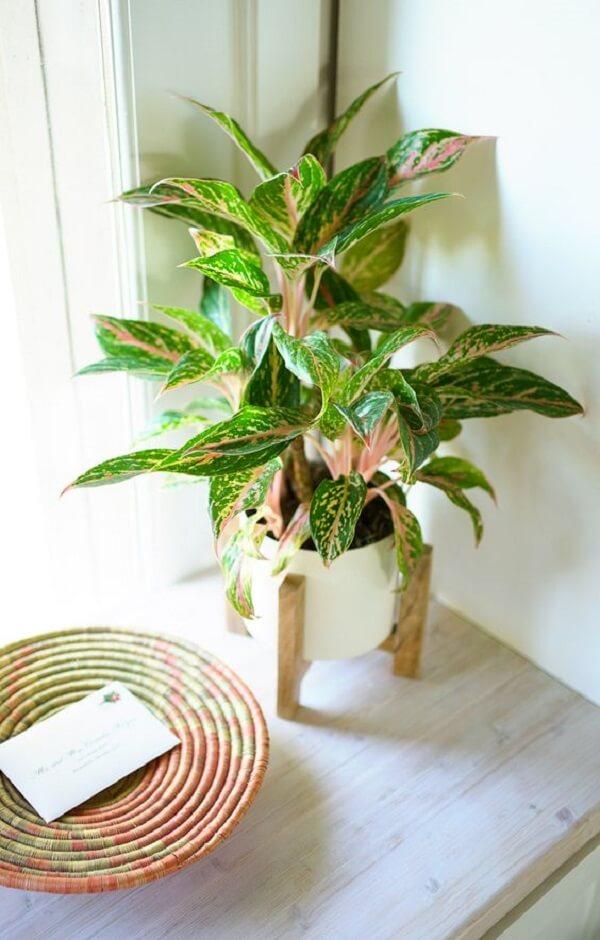 A Aglaonema é uma planta herbácea nativa do Brasil