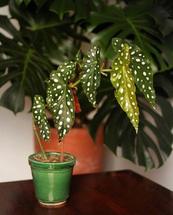 A Begônia Maculata é a mais nova tendência floral na decoração
