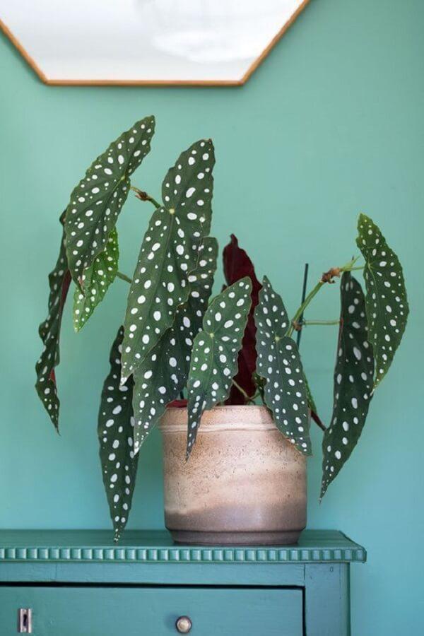 A Begônia Maculata é perfeita para ambientes internos e demanda poucos cuidados