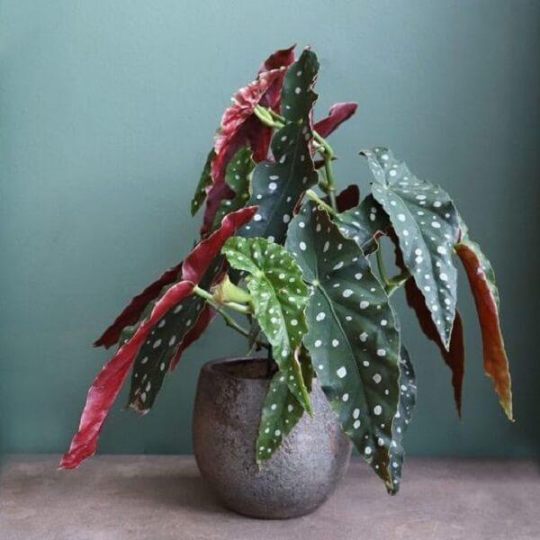 A Begônia Maculata é uma planta de meia sombra