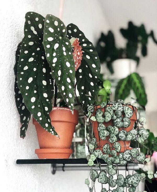 Os diferentes tipos de Begônia Maculata devem ser protegidas da luz direta do sol