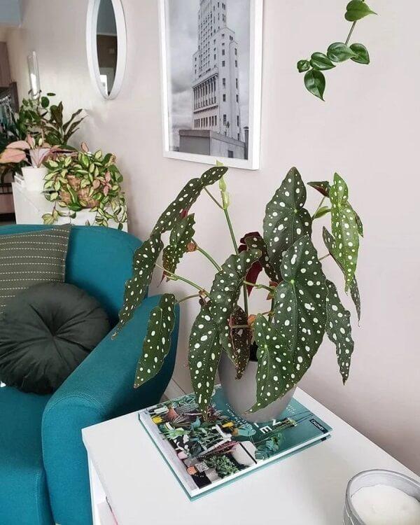 A beleza da Begônia Maculata chama a atenção de todos