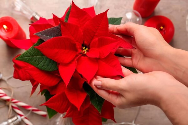 The Poinsettia flower is widely used in Christmas decoration for winter garden