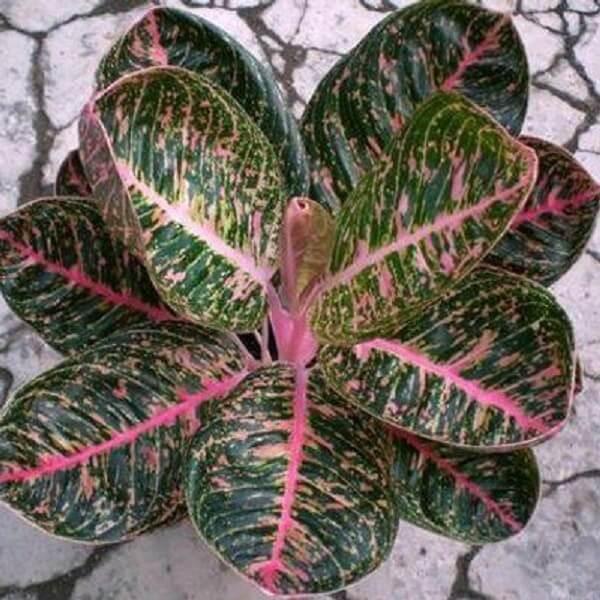 A folhagem da planta Aglaonema rosa é maravilhosa
