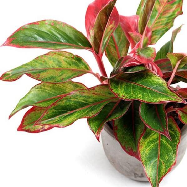 As etapas de como cuidar da planta Aglaonema não exigem tanto esforço