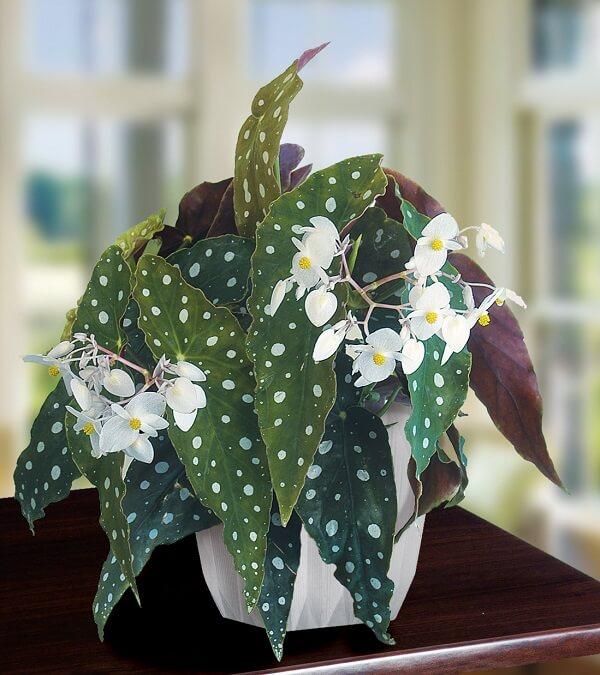 As flores da Begônia Maculata são delicadas e mesclam tons de branco e amarelo