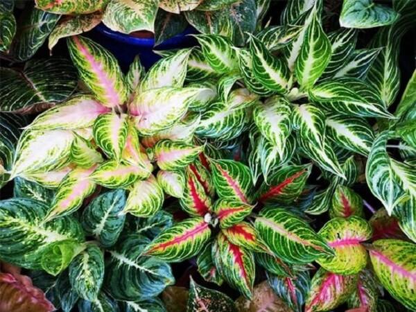 Cultive diferentes Aglaonema tipos no jardim de casa