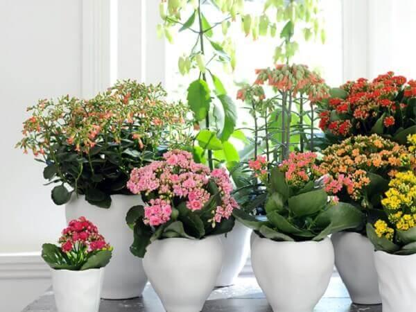 Vasos de flores kalanchoe