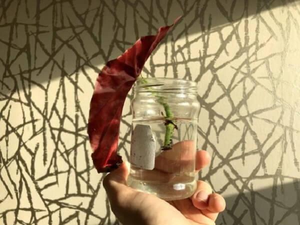 Para fazer begonia maculata muda corte um pedaço de caule com cerca de 4 folhas e coloque na água até a formação das raízes
