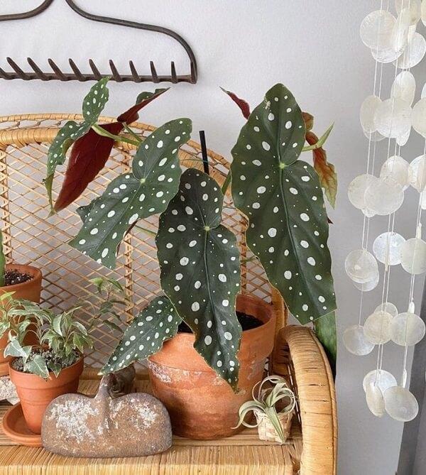 Reserve um espaço especial na sua casa para cultivar a Begônia Maculata