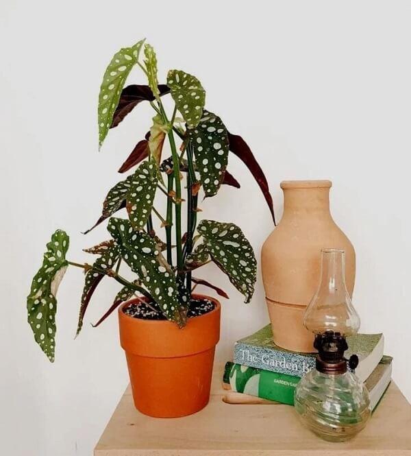 Se surpreenda com o visual exótico e aprenda como plantar Begônia Maculata