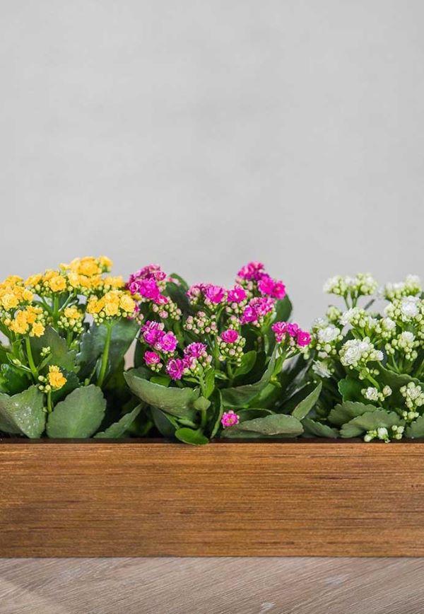 Canteiro com flor da fortuna lilás, amarelo e branca