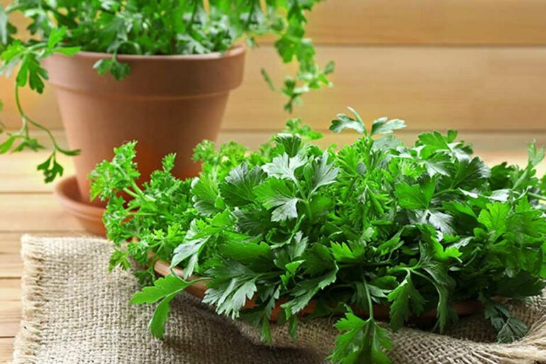 Como plantar coentro em vaso e canteiro - Via: Pinterest