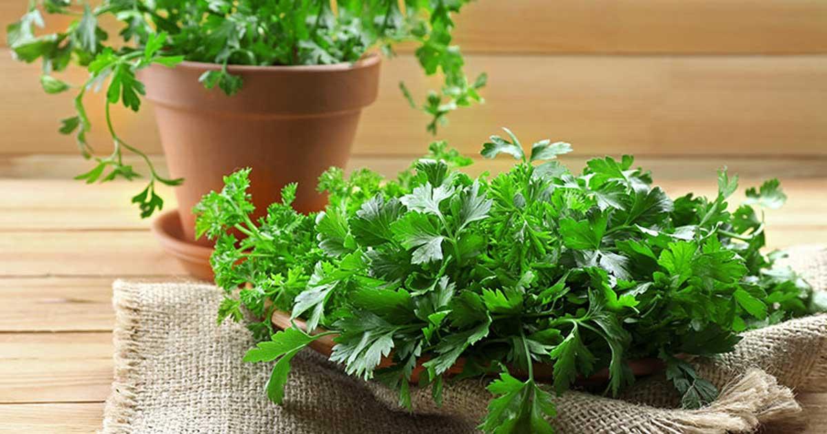 Como plantar coentro em vaso e canteiro
