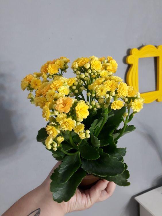 Entregue a flor da fortuna amarela de maneira especial