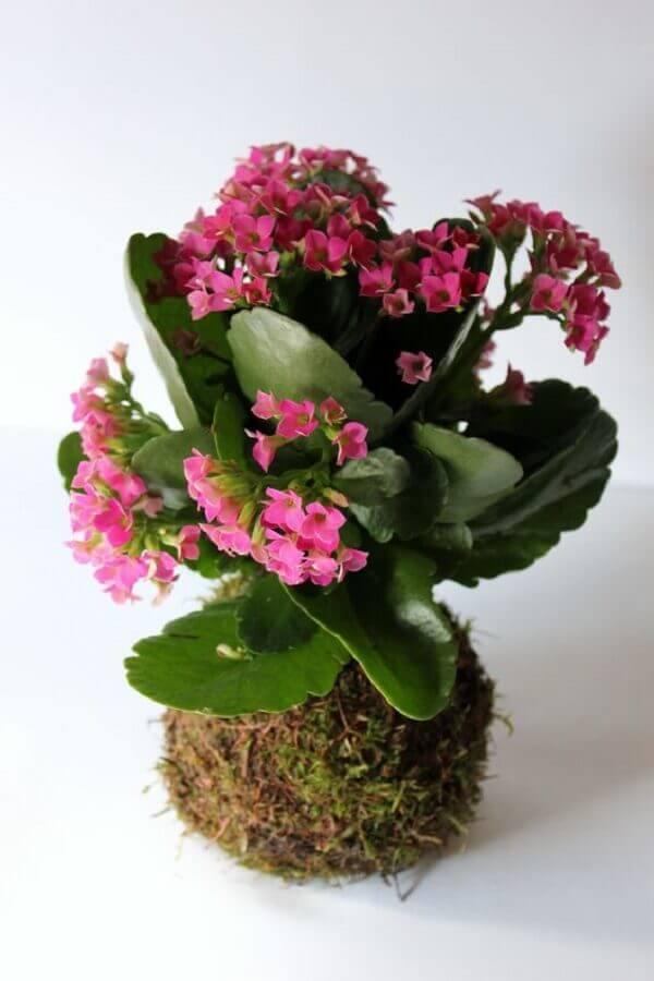 Flor da fortuna, a kalanchoe rosa, é um dos melhores presentes para seus amigos