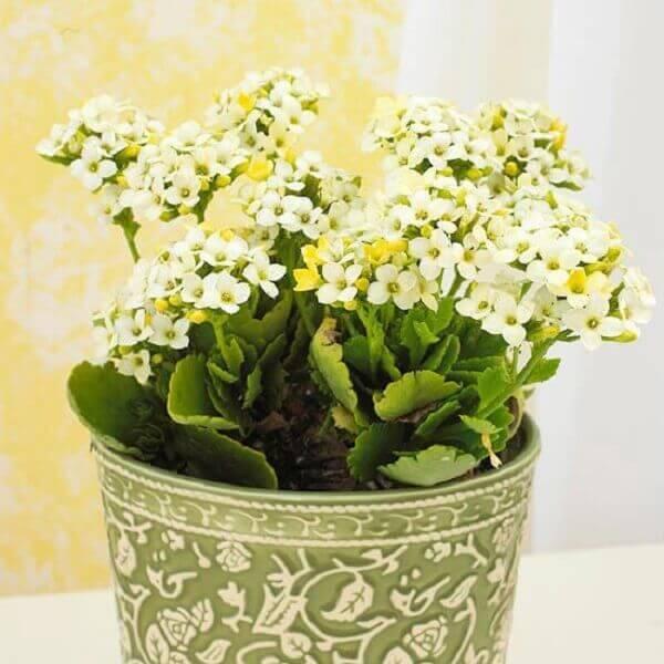 Flor da fortuna em vaso delicado