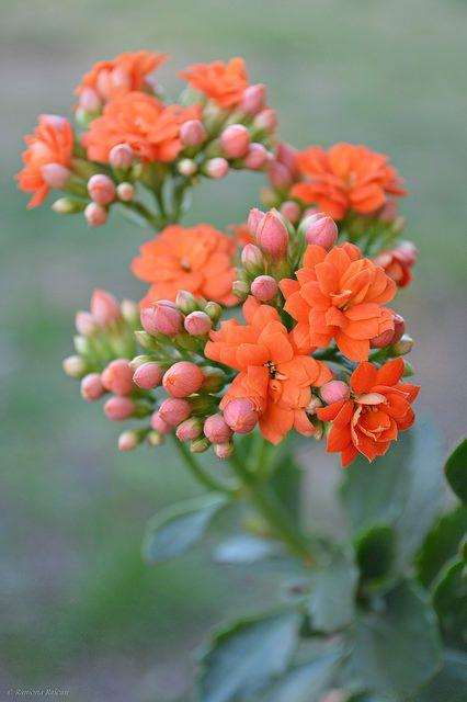 Flor da fortuna laranja e rosa
