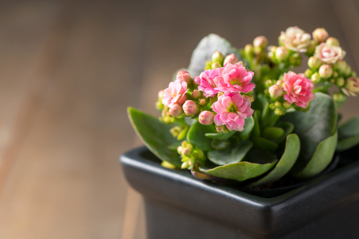 Flor da fortuna kalanchoe
