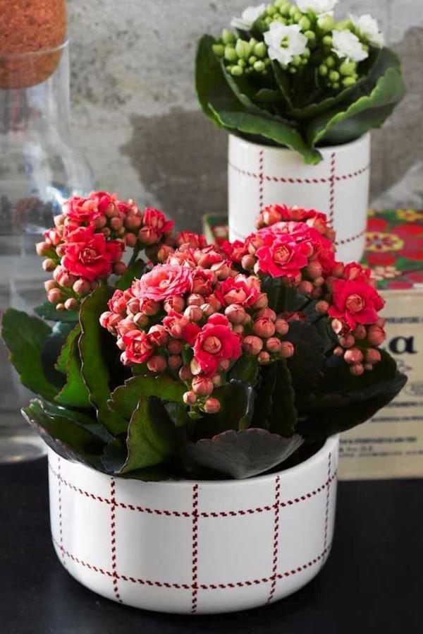 Flor da fortuna rosa com vaso listrado