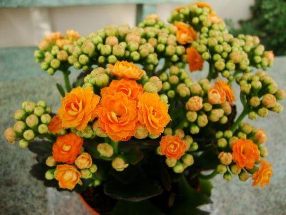 Decore sua casa com o vaso de flor da fortuna