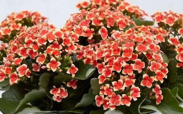 Flor da fortuna vermelha significa paixão e destaca a decoração