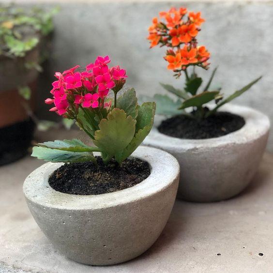Flor da fortuna no vaso de cimento