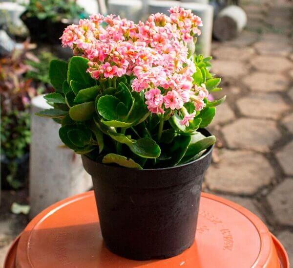 Decoração com flor da fortuna