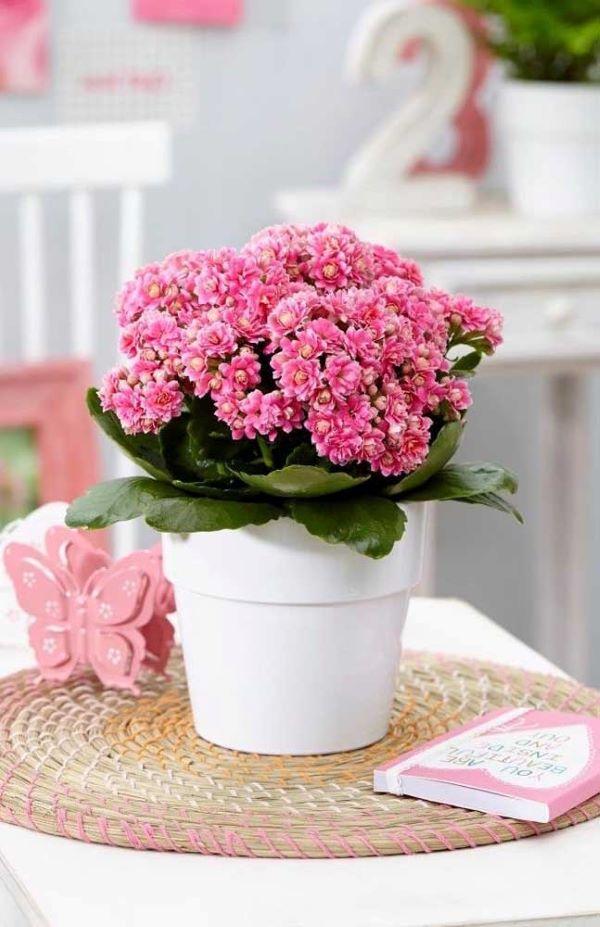 Flor da fortuna rosa com vaso branco