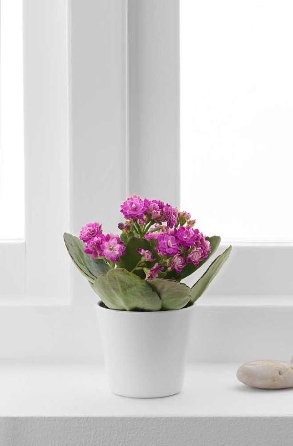 Aprenda como cuidar da flor da fortuna