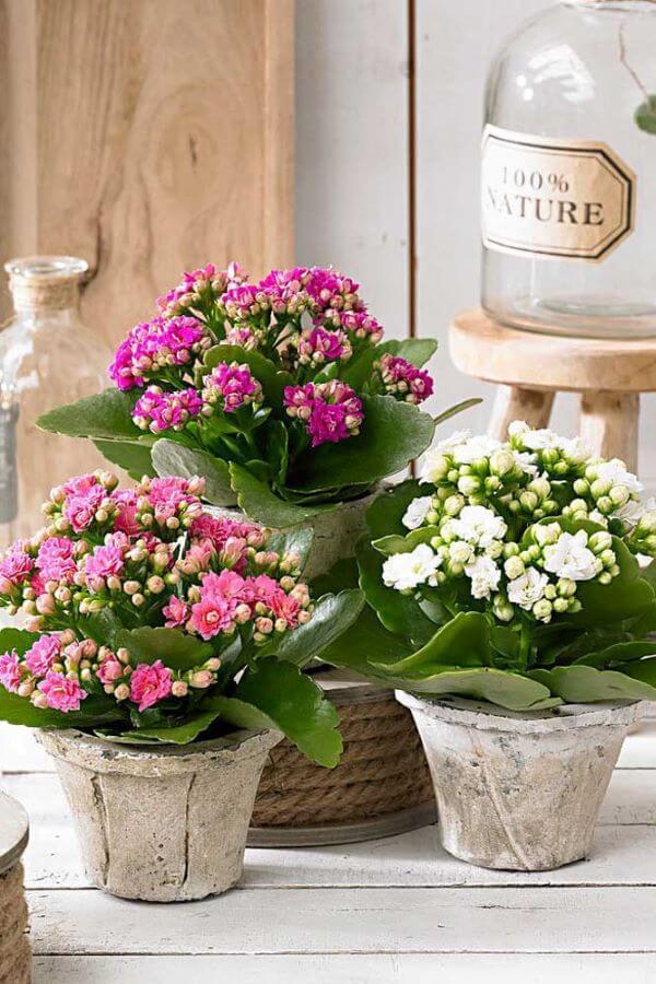Use a flor da fortuna para decorar sua casa com muito charme