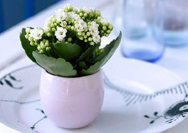 Flor da fortuna com vaso branco