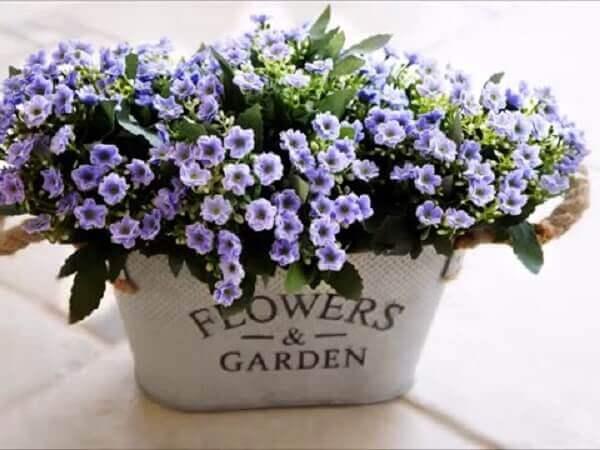 A flor da fortuna significa prosperidade e amizade verdadeira