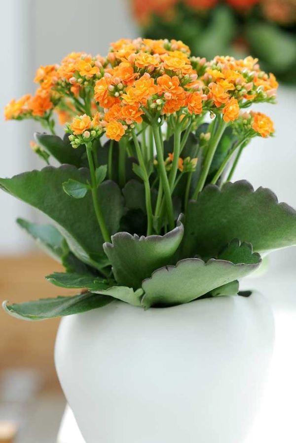 Vaso branco para destacar a flor da fortuna