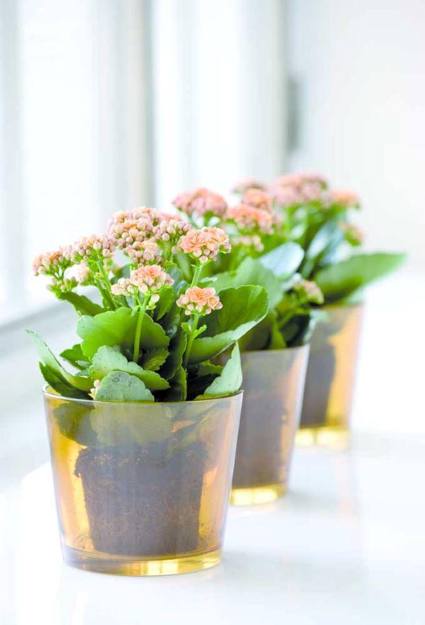 Coloque a flor da fortuna em janelas para receber luz o dia todo