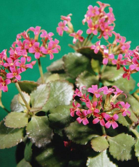 Flor da fortuna cor de rosa