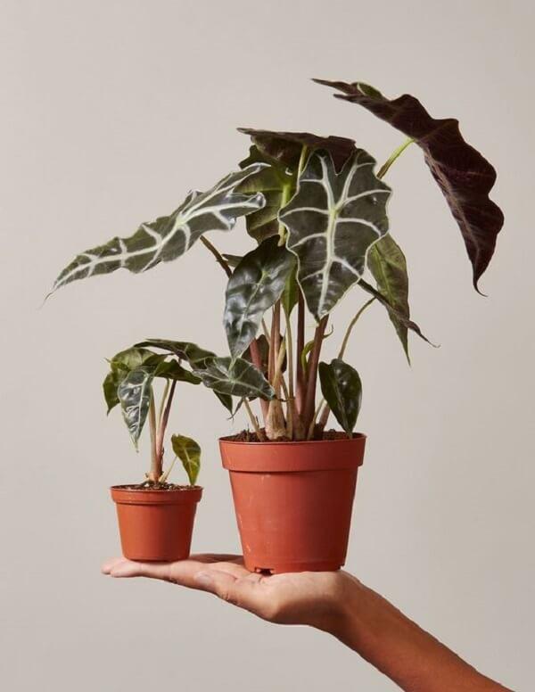 A Alocasia Amazônica é uma planta cheia de personalidade