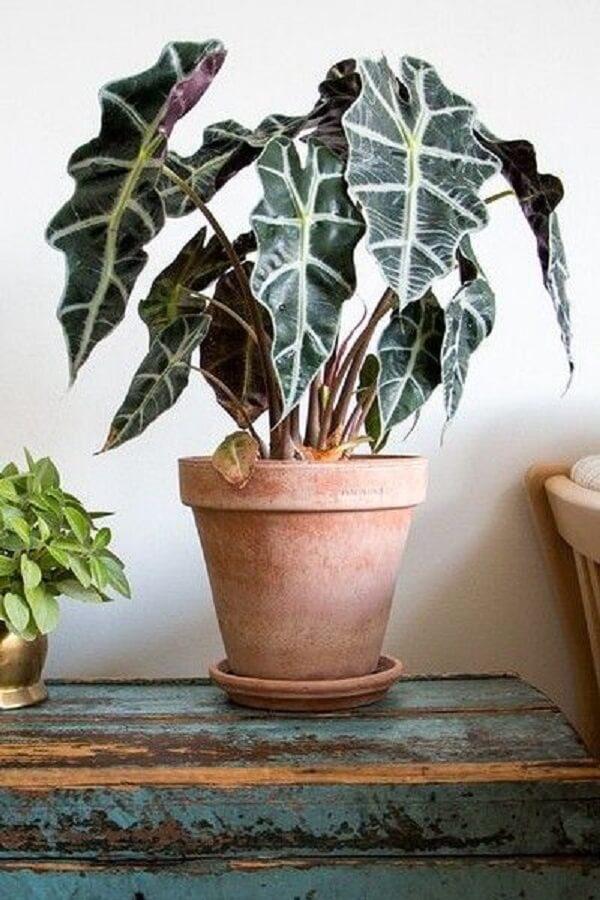 A Alocasia Amazônica é uma planta de meia-sombra