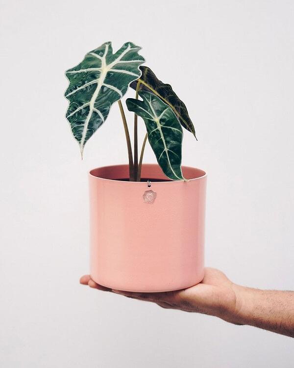 A Alocasia Amazônica é uma planta tóxica e deve ficar longe de criança e animais domésticos