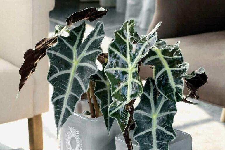 A Alocasia Sanderiana possui folhas grandes e nervuras brancas