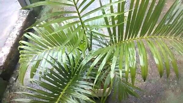 A Areca bambu apresenta rápido crescimento